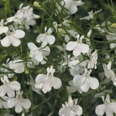 Lobelia - Laguna™ White