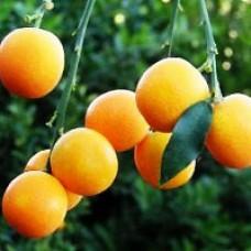 Kumquat - Marumi