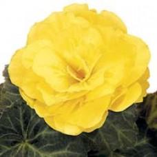 Begonia tuberhybrida 'Nonstop Mocca Yellow'