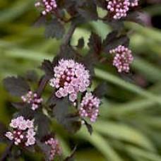 Summer Wine Ninebark Flower