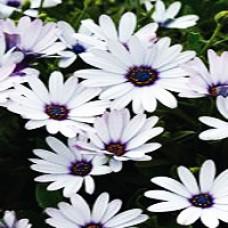 Daisy - Soprano White Improved
