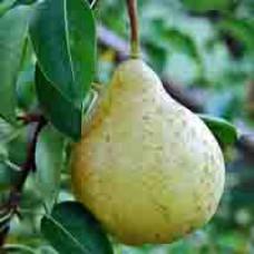 Pear Tree - Bartlett