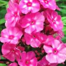 Phlox - Candy Store™ Bubblegum Pink