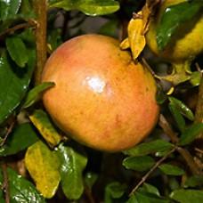 Pomegranate - Sweet