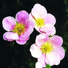 Potentilla - Pink Beauty