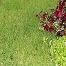 Prestige Buffalo Grass Plugs