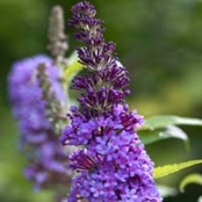 Purple Emperor Butterfly Bush