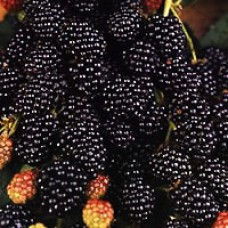 Raspberry - Jewel