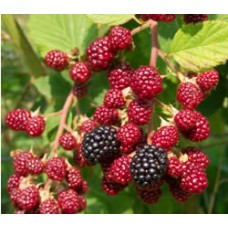 Raspberry - Royalty