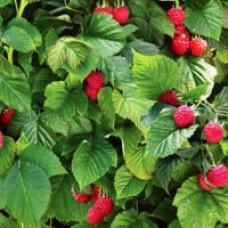 Raspberry - Raspberry Shortcake™