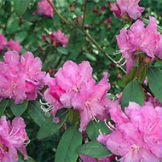 Rhododendron - P.J.M