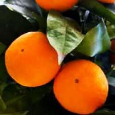 Orange - Robertson Sweet Orange