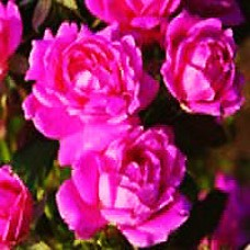Rose - Pink Double Knock Out® - Shrub