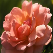 Rose - Easy Elegance® Sweet Fragrance