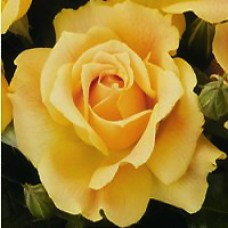 Rose - Easy Going - Floribunda