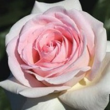 Rose - Francis Meilland - Hybrid Tea