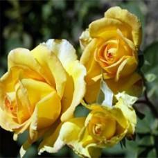 Rose - Gold Medal - Grandiflora