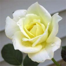 Rose - Moondance - Floribunda