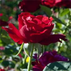 Rose - Opening Night - Hybrid Tea