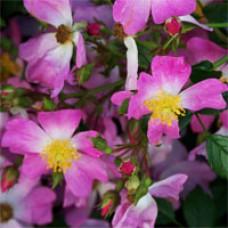 Rose - Oso Easy™ Fragrant Spreader - Groundcover