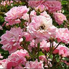 The Fairy Rose Bush