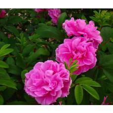Therese Bugnet Rose Shrub
