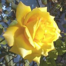 Royal Gold Climbing Rose