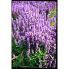 Blue Hills Salvia