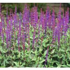 Salvia - Caradonna