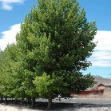Cottonwood - Siouxland