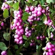 Snowberry - Sweet Sensation