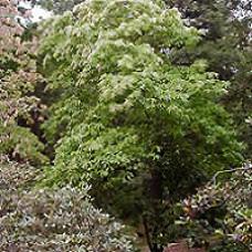 Sourwood Trees
