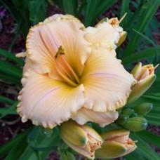 Spanish Glow Daylily Flower