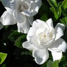 Gardenia - Summer Snow