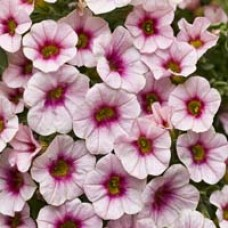 Superbells Cherry Blossom Calibrachoa