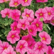 Superbells Pink Calibrachoa