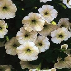 Petunia - Supertunia ® White