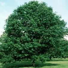 Swamp White Oak Trees