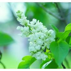 Lilac - Common White