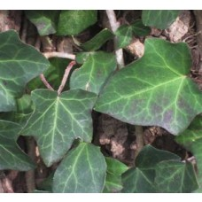 Thorndale English Ivy