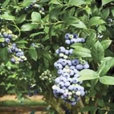 Tifblue Blueberry Bushes
