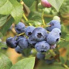 Woodard Blueberry