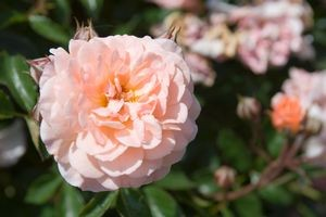 rose groundcover