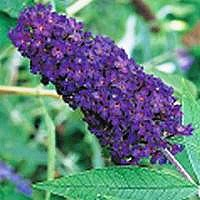 Butterfly Bush - Black Knight