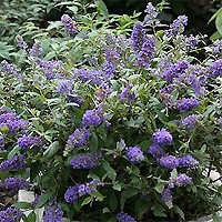 Butterfly Bush - Adonis Blue