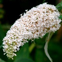 Butterfly Bush - White Profusion