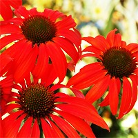 Coneflower - Tomato Soup