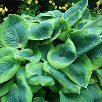 Hosta - Frances Williams