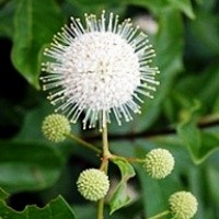 Buttonbush - Magical Moonlight