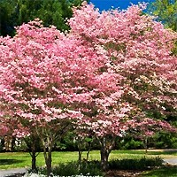 Red Flowering Dogwood